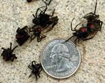 <p>Just a few of the 100 black widow spiders that ingested a swimming pool in Madison, Alabama.</p>