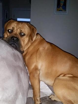 Dognap riddle... Henry the mastiff