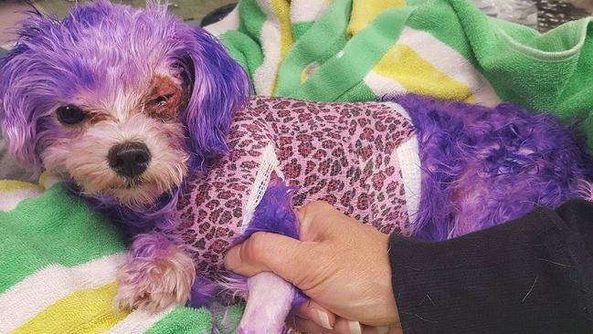 Dog Dyed Purple Almost Dies From Severe Allergic Reaction