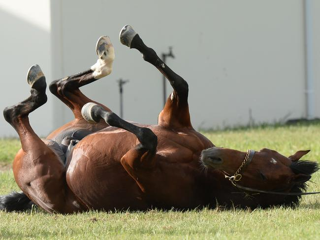 Johannes Vermeer rolls on the grass after a trackwork gallop at Werribee on Sunday. Picture: AAP