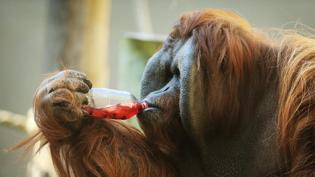 Taronga Zoo's male Orangutan Jantan has taken a liking to herbal tea in the winter months with keepers finding the enrichment made up of tea and fruit stimulates them and helps keep them warm on the cool winter mornings. Picture: Toby Zerna