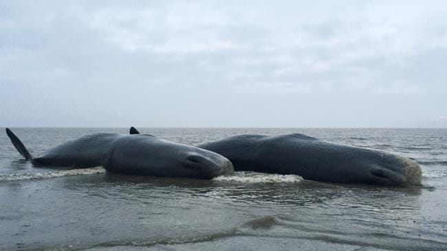 Tragic find ... Two dead sperm whales are seen washed up on a beach near Skegness in northeast England.