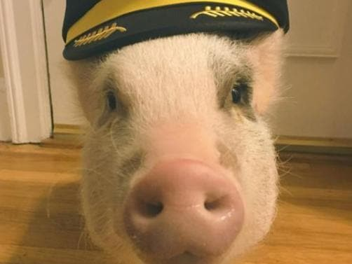 San Francisco airport has a 'therapy pig'