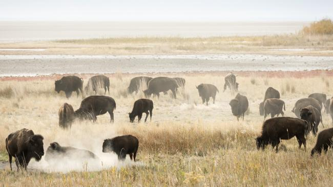 American bison graze on the fickle shores of Great Salt Lake. Picture: Lonely Planet/Phillip Lee Harvey.