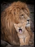 A tiny cub cuddles up to its father and gave the photographer a big yawn. The father and son were snapped by Peter Hausner Hansen when he visited Odense Zoo, Denmark. Peter watched at the cub approached its father, gently rubbed its head under his and then layed across his fathers front legs. Pictured: The lion cub lets out a big yawn while cuddling into his father. Picture: Solent