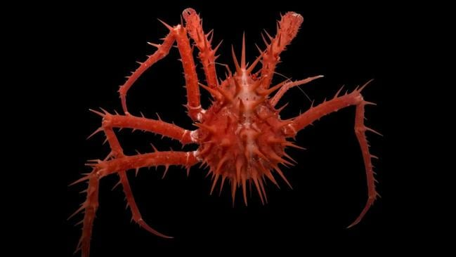 This bright red spiny crab sports an armour of spikes tailored to protect it from the dangers of the deep. These are not actually true crabs but related more to hermit crabs, although this hermit has traded in its shell for gnarly spikes. Picture: Rob Zugaro/CSIRO/Museums Victoria