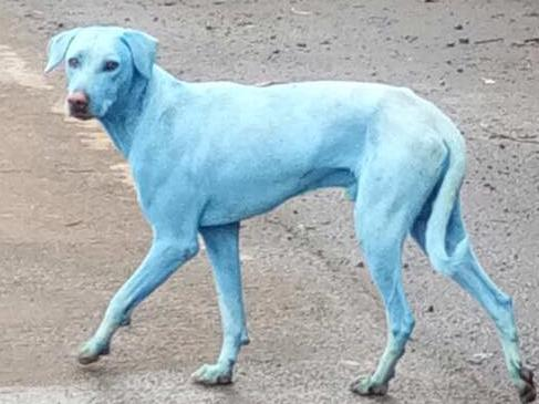 Dogs are turning blue in India.