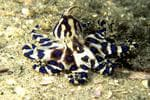 <strong>9. BLUE-RINGED OCTOPUS</strong>  <p>The tiny octopus changes from a muddy orange colour to a vibrant blue when it strikes.</p>  <p>It has venom 10,000 times more toxic than cyanide and can kill in 90 minutes. The size of a golf ball, its beak can penetrate a wetsuit.</p>  <strong>Where:</strong>  <p>The blue-ringed octopus resides in rock pools and coral reefs around the nation / Reuters</p>
