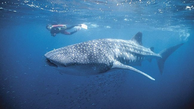 Swimming with a whale shark at Ningaloo Reef, Western Australia. Picture: Supplied