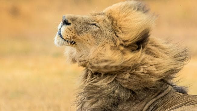 They're not called King Of The Jungle for nothing ... and this lion knows he's got 'it'. Picture: Adrian Burrows/ Caters News