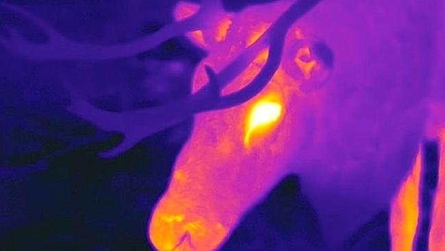 So bright ... a thermographic camera captures a reindeer's glowing red nose.