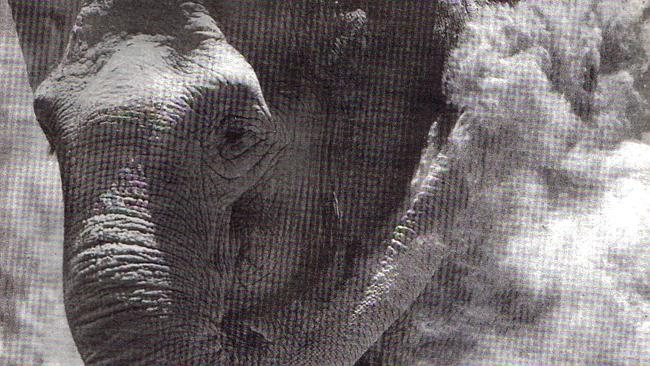 At Monarto, during the Adelaide summer, Samorn took to protecting her skin from the harsh sun and insects by engaging in dust baths. This photo was taken in 1994, the year the elephant died. Photo: The Advertiser