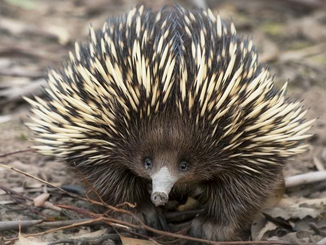 Common creature ... the short-beaked echidna is found throughout Australia.