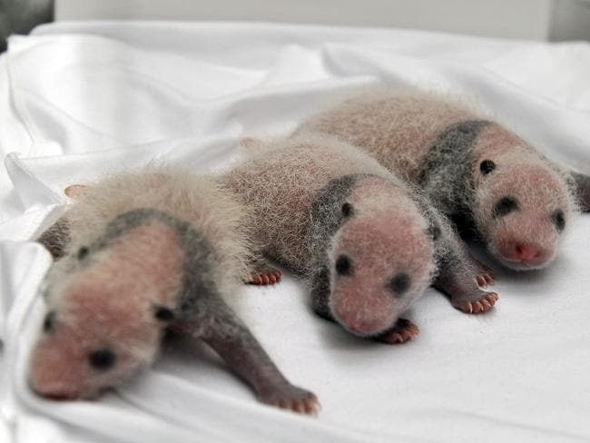 World first ... triplet panda cubs born on July 29 in the southern Chinese city of Guangzhou.
