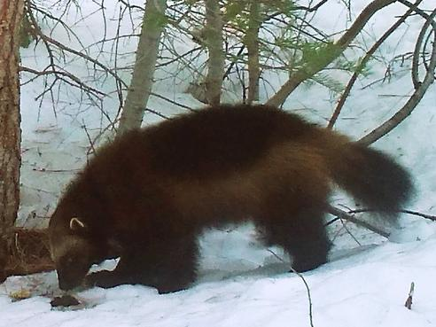 Scientists' rare images of wolverine