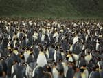 <p><strong>KING PENGUIN ROOKERY, ST ANDREWS BAY, SOUTH GEORGIA</strong><br /> <br /> <em>March of the Penguins</em> is like many art-house films: strong, silent characters, not much happening for much of the movie but still incredibly powerful. <br /> <br /> That's also something you'd probably say about penguin odour; you'll smell them before you see them. <br /> <br /> But you'll forget the stink when you see the rookery: over a quarter of a million birds - big ones too, reaching almost a metre high - mingle and trumpet, resplendent in their black tuxedos and orange collars. <br /> <br /> It's a scene that's simultaneously hilarious, noble, cute and magnificent.<br /> <br /> <strong>Where to catch it:</strong> South Georgia is commonly visited on voyages to the Antarctic Peninsula from Ushuaia in Argentine Tierra del Fuego, via the Falkland Islands.<br /> <br /> <strong>Picture:</strong> Liam Q/Flickr</p>