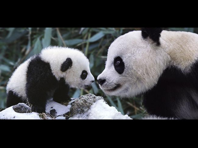 A Giant Panda and her cub play peacefully in the snow in the mountainous regions of western China's Sichuan Province. Captured at the Wolong Nature Reserve, photographer Steve Bloom spent a week photographing the endangered species. Set up in 1963 the Wolong Nature Reserve is home to 6000 species of plants and animals and is one of the last protected homes of the giant panda. Picture: Getty