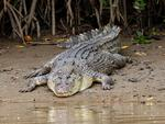 LAZY DAY: A very large estuarine crocodile lays on the bank of Thomatis Creek at Holloways Beach. Pic: Marc McCormack