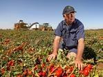 Aussie Tomatoes