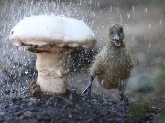 PUDDLEDUCK: This baby duck seeks shelter from the rain. Pic. Jamie Hanson
