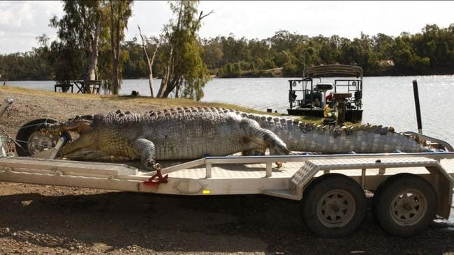 A police-issued image of the crocodile that was shot in the Fitzroy River near Rockhampton. Picture: Supplied