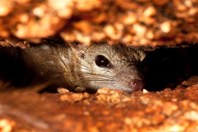 The last stand: northern quoll Credit: Henry Cook/Australian Geographic