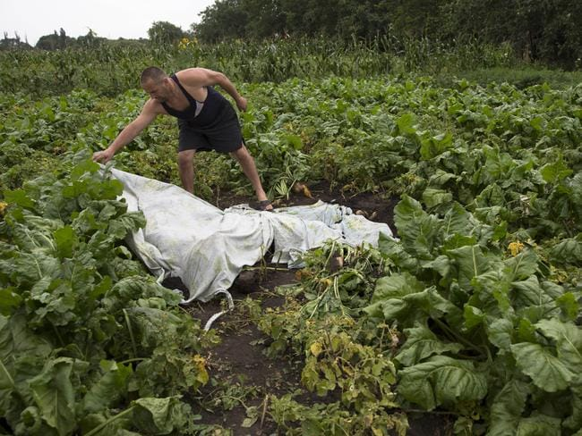 Grim task ... A man covers a body with a plastic sheet near the site of the crashed Malaysia Airlines passenger plane near the village of Rozsypne. Pic: Dmitry Lovetsky)