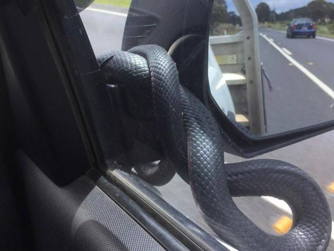 The snake wrapped itself around the mirror. Picture: Nolans Auto Parts