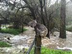A soggy koala found the perfect vantage point to scope out a safe spot away from floodwaters in Stirling on Wednesday. <br />Crafers resident Russell Latter captured a photograph of the furry marsupial as it perched itself on top of a fence post on Old Carey Gully Rd.