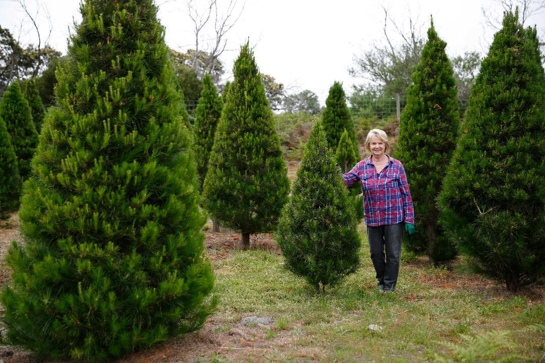 Find Your Perfect Pine At Sunnybrook Christmas Tree Farm