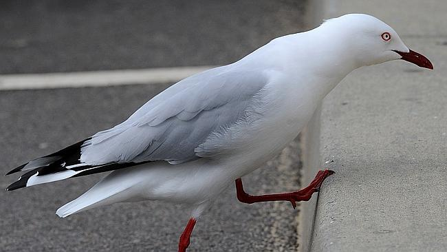 Alvincz was convicted of kicking a seagull to death in front of a mother and two children at Bondi beach. Picture: Lorimer Peter