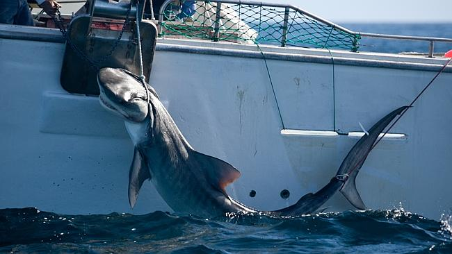 WA's controversial drum-line baits, which have caught hundreds of sharks, are being remov