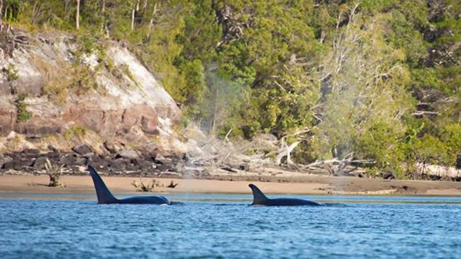 Killer Whales in Hervey Bay, Queensland ? one on the hot property list.