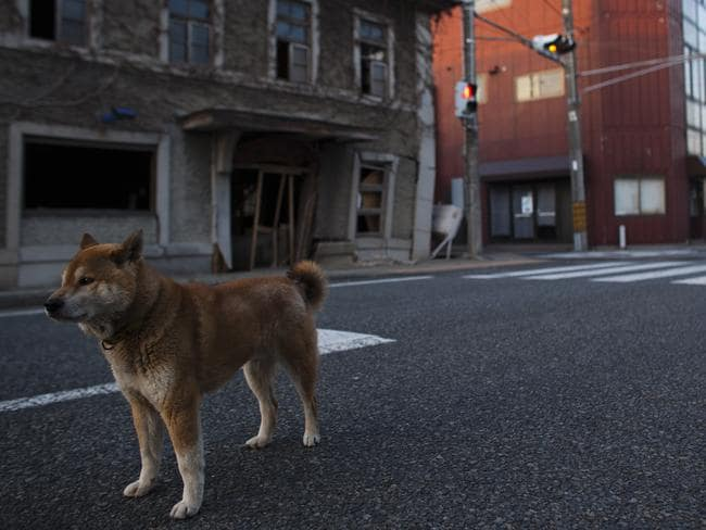 An abandoned dog in Futaba, pictured in 2013. Pic: Athit Perawongmetha/Getty Images.