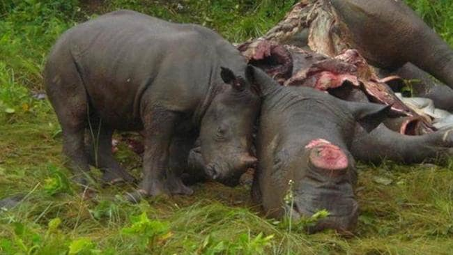 Rhino horns can be cut without killing the animal, but poachers often kill. Source: Supplied.