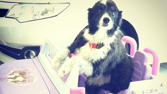 "Pepper scored 38, a genius score she clearly thought entitled her to drive ... the Berry's other dog Darcy scored 34. Joanna Berry said: ""He's no genius, but he makes up for it with his comic talent!"""