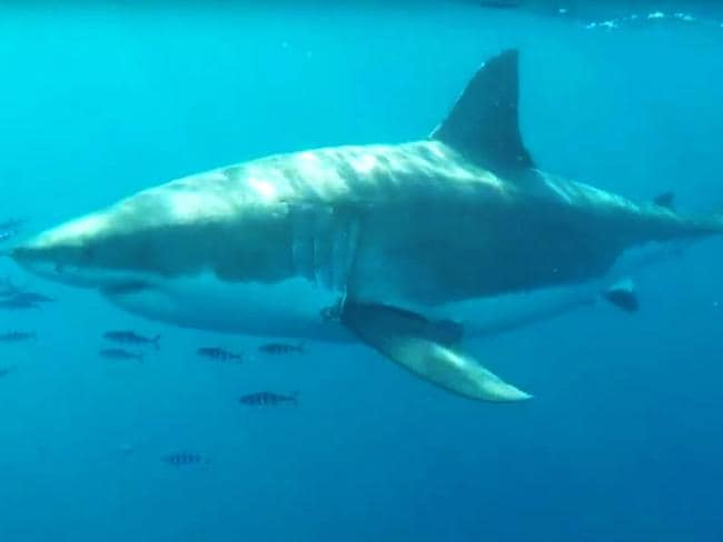 A great white shark filmed 500 metres off Long Reef Beach on Sydney's northern beaches in September last year. Picture: Cameron Sutherland.
