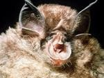 <p>Eastern horseshoe bats can be spotted in parts of Australia, particularly in Queensland. They are distinguished by the horseshoe-shaped fleshy area around their nose.<br /> <br /> Picture: Supplied</p>