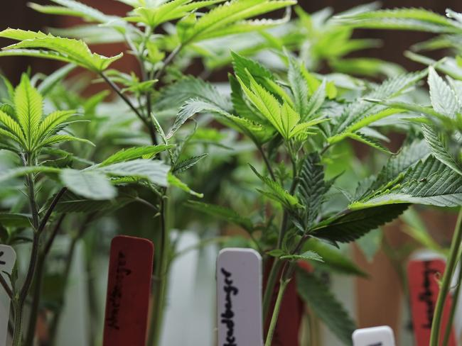 Marijuana is set to become legal in Australia for medical use. Picture: AP Photo/Richard Vogel.