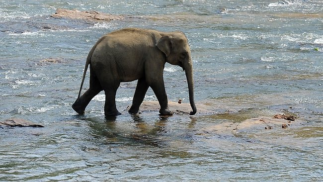 An elephant from the Elephant Orphanage cools off in the river at the village of Pinnawela, some 90km northeast of Colombo.