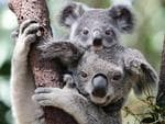 Spring babies - A koala joey fresh out of the pouch at Currumbin Wildlife Sanctuary. Picture: Luke Marsden.