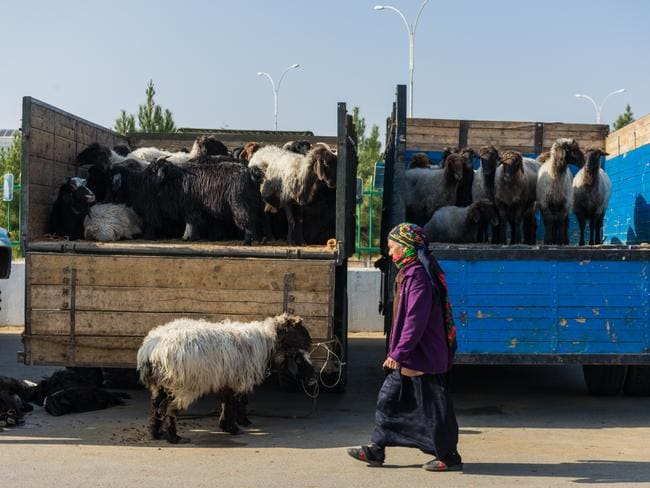 A lady with sheep trucks. Picture: Alesha Bradford