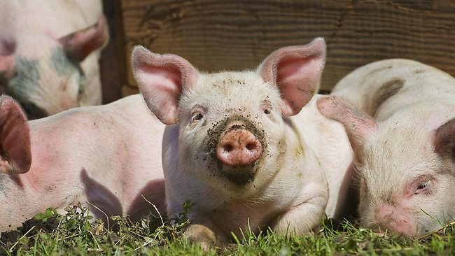 Brain cells from New Zealand pigs are being used to fight Parkinson's disease.