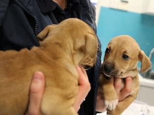 22 puppies rescued from puppy farms