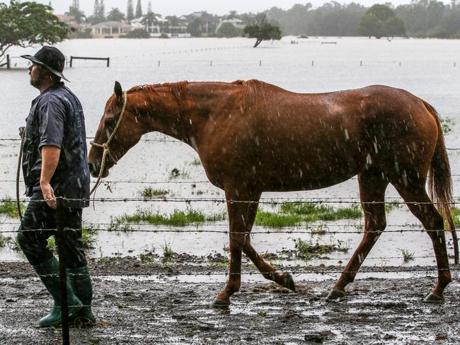 A man walks a horse to safer grounds at the saleyards in Carrara on the Gold Coast ahead of the forecast floods. Picture: Nigel Hallett