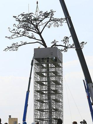 "A crane lowers into place an upper section of a replica of the "" miracle pine tree'' in Rikuzen-Takata, Iwate Prefecture, on Mar. 6, 2013. Picture: AP"