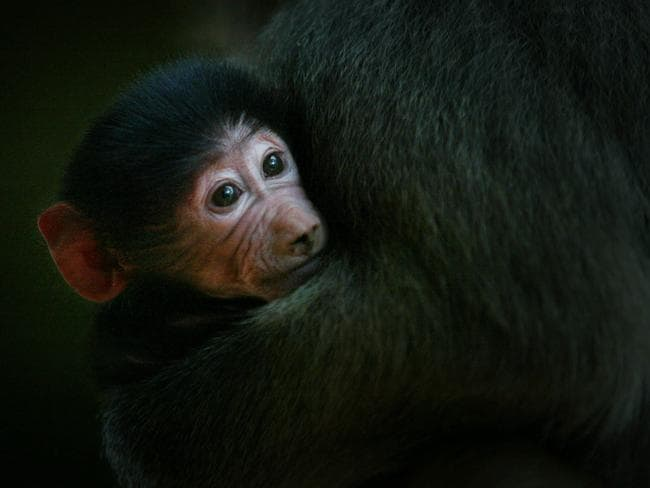 MONKEYING AROUND: Alma Park Zoo's week-old baby baboon snuggles up with mother Minya. Pic: Jamie Hanson