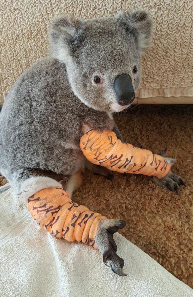 Don the koala was hit by a car and had to be euthanised as a result of his injuries. Picture: Richard Woodman