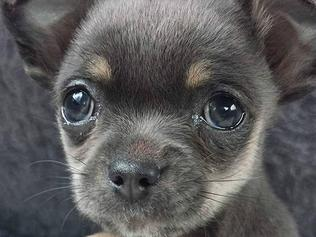 Heather Sinden's four-month-old chihuahua, Fudge, was taken by a crow from the backyard of her Astor Court house.