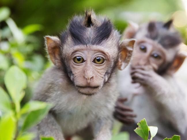 Bali's monkeys are evil geniuses